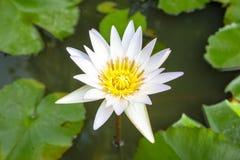 Lotus-Blume und Lotosblätter Stockfoto