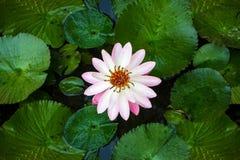 Lotus-Blume und Lotus-Blume pflanzt Hintergrundmuster Stockbild