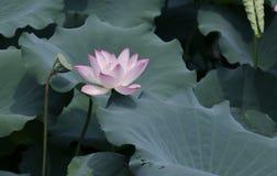 Lotus-Blume und Lotus-Blumenanlagen stockfoto