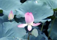 Lotus-Blume und Lotus-Blumenanlagen stockbilder