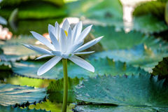 Lotus-Blume und Lotus-Blumenanlagen Stockfotos