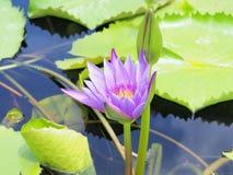 Lotus-Blume und Lotus-Blumenanlagen, Seeroselotosblume an Lizenzfreie Stockfotos