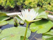 Lotus-Blume und Lotus-Blumenanlagen, Seeroselotosblume an Lizenzfreie Stockbilder