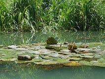 Lotus-Blume und -Wasserpflanzen lizenzfreies stockbild