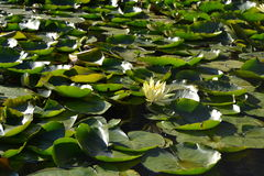 Lotus-Blume Zenabbildung Lizenzfreie Stockbilder