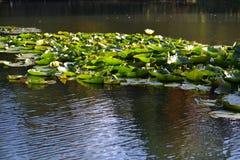 Lotus-Blume Zenabbildung Stockbilder