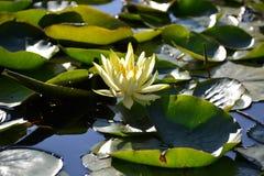 Lotus-Blume Zenabbildung Stockbild