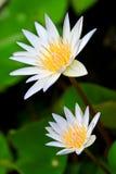 Lotus-Blumen. Stockbild