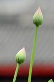Lotus-Blumen Stockfoto