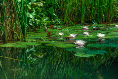 Lotus-Blumen Lizenzfreies Stockbild
