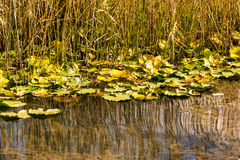 Lotus-Blumen auf dem See Abant Stockbild