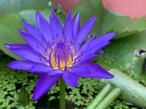 Lotus-Blumen blühen sehr schönes ( eine Nahaufnahme oder ein macro) lizenzfreie stockbilder