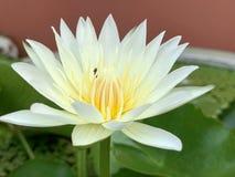 Lotus-Blumen blühen sehr schönes ( eine Nahaufnahme oder ein macro) lizenzfreie stockfotos