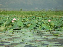 Lotus-Blumen in einem Teich in Ladakh-2 Stockfoto