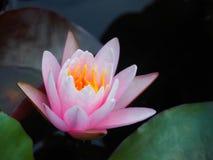 Lotus-Blumen- oder -Seeroserosa mit grünen Blättern Schön, blühend im Badekurortpool, um zu verzieren Stockfotos