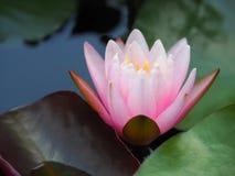 Lotus-Blumen- oder -Seeroserosa mit grünen Blättern Schön, blühend im Badekurortpool, um zu verzieren Stockbild