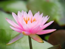 Lotus-Blumen- oder -Seeroserosa mit grünen Blättern Schön, blühend im Badekurortpool, um zu verzieren Lizenzfreie Stockfotos
