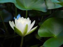Lotus-Blumen- oder -Seeroseweiß mit grünen Blättern Schön, blühend im Badekurortpool, um zu verzieren Lizenzfreie Stockfotos