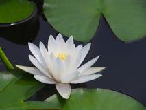 Lotus-Blumen- oder -Seeroseweiß mit grünen Blättern Schön, blühend im Badekurortpool, um zu verzieren Lizenzfreie Stockfotografie