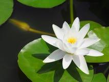 Lotus-Blumen- oder -Seeroseweiß mit grünen Blättern Schön, blühend im Badekurortpool, um zu verzieren Stockbilder