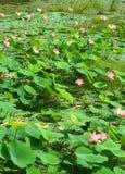 Lotus-Blumen und -knospen mit grünen Blättern Lizenzfreies Stockfoto