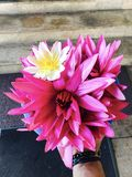 Lotus-Blumen weiß und purpurrot Stockfoto