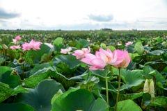 Lotus-Blumenblätter Lizenzfreie Stockfotos