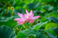 Lotus-Blumenblätter Lizenzfreies Stockbild