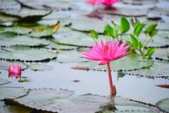 Lotus-Blumenblätter Stockfotos