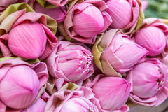 Lotus-Blumenblüte Stockfoto