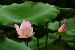 Lotus-Blumenblüte auf dem See Stockbilder