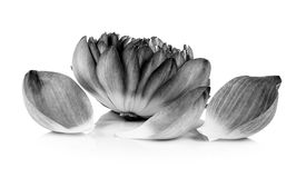 Lotus-Blumenblatt Schwarzweiss Lizenzfreie Stockfotos