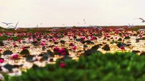 Lotus-Blumengarten im See mit vielen von Vögeln stockfotos