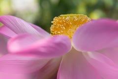 Lotus-Blumenherz lizenzfreies stockbild