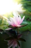 Lotus-Blumenhintergrund Lizenzfreie Stockfotografie