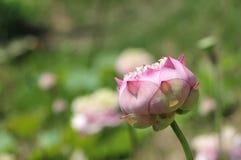 Lotus-Blumenknospung Lizenzfreie Stockbilder