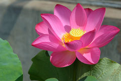 Lotus-Blumennahaufnahme Lizenzfreie Stockfotos