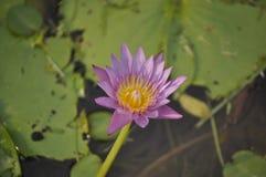 Lotus-Blumenrosa in gelbem frischem Stockbild