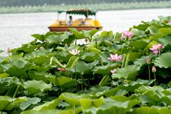 Lotus and boat. stock images
