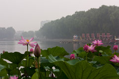 Lotus with Boats in the Background, Beihai Park, Beijing. Nelumbo nucifera (sacred lotus) is native to Asia Stock Photos