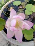 Lotus bonito Fotografia de Stock