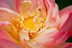 Lotus Bossom Unfurling Royalty Free Stock Photos