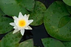 Lotus branco Fotografia de Stock