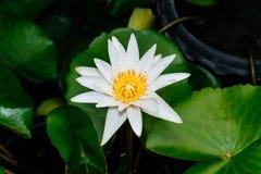 Lotus branco em um fundo verde Imagem de Stock Royalty Free