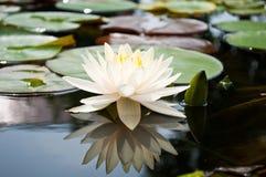 Lotus branco na bacia Foto de Stock