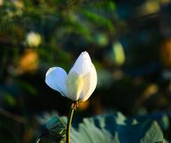 Lotus branco na lagoa fotografia de stock