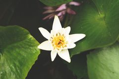 Lotus branco no fundo Foto de Stock Royalty Free