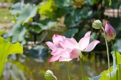 Lotus, brote y cupule Imagenes de archivo