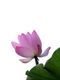 Lotus bud. Pink lotus bud blooming in the early morning stock photo
