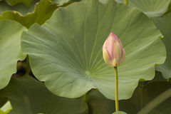 Lotus bud Stock Photos
